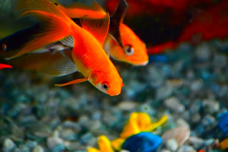 gold-fish-snag