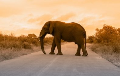 king-elephant