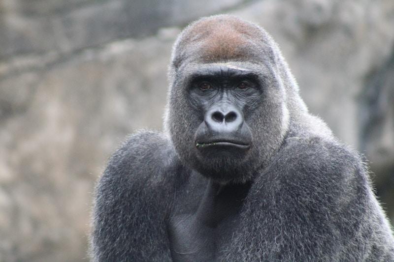 ninja-gun-gorilla