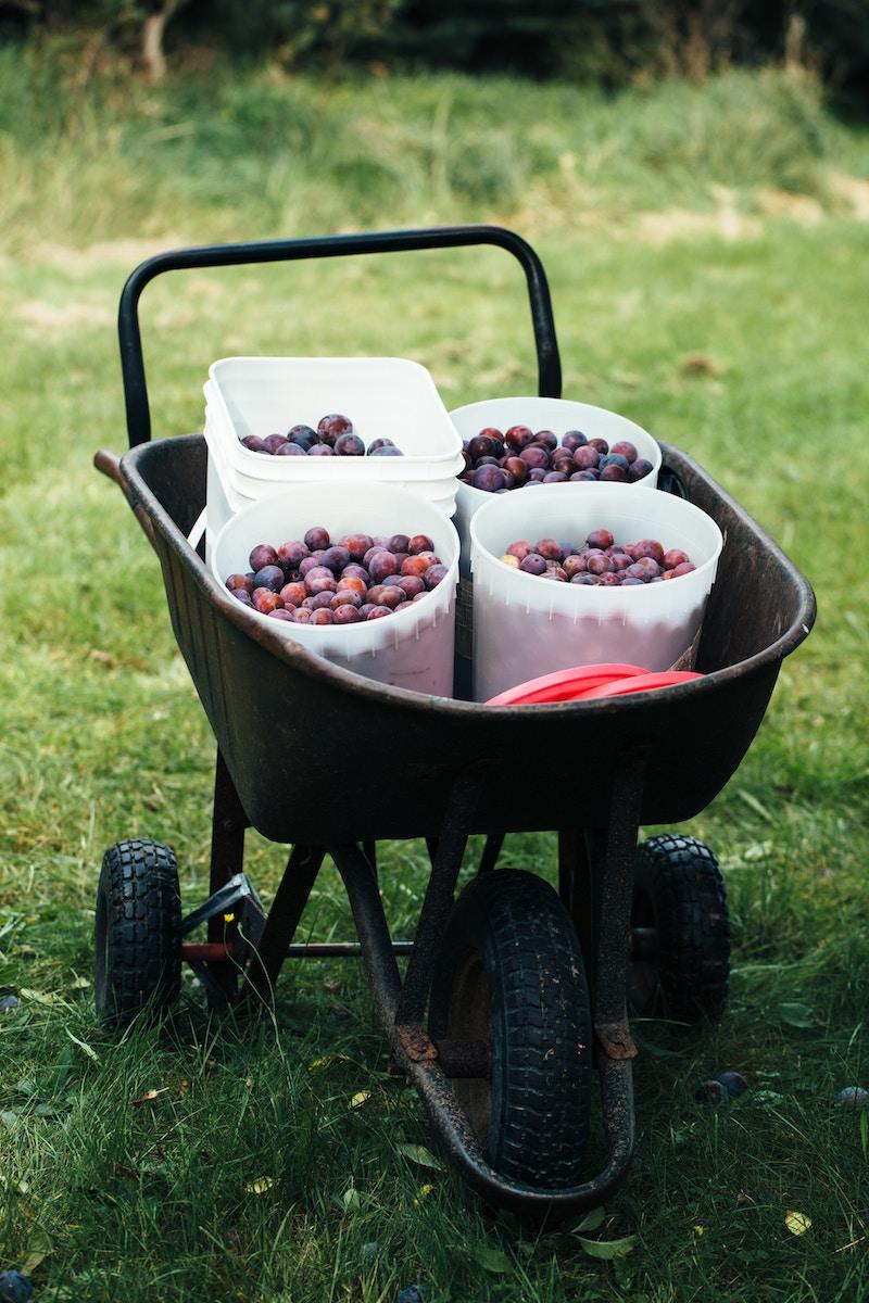 wheelbarrow-eating-race