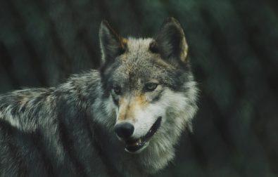big-bad-wolf-2