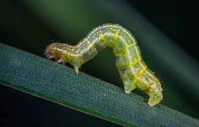 saran-inchworm