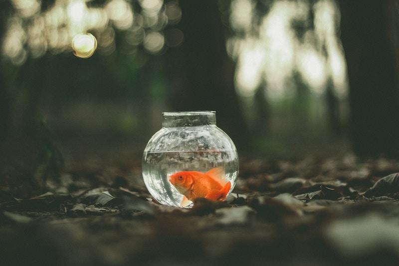 goldfish-gulp