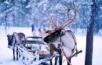 reindeer-round-up