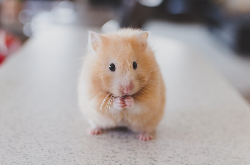 hamster-knockout